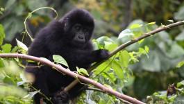 Hanging Out with Silverback Gorillas in Uganda