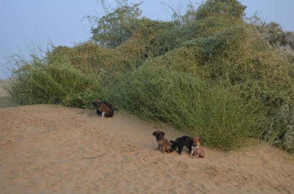 Desert Dogs Jaisalmer
